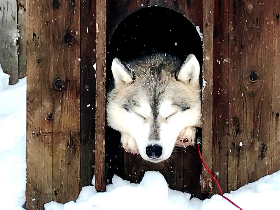 Sleeping husky at Husky Park in Santa Claus Village in Rovaniemi, Finland