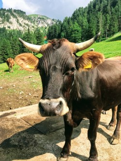 Tyrolean cow on the mountains in Val di Fiemme