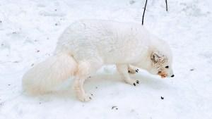 Arctic Fox at Ranua Zoo