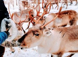 Hungry reindeer eating lichen at Vaara Reindeer Farm