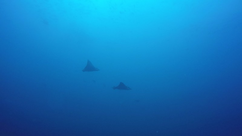 eagle ray bat islands