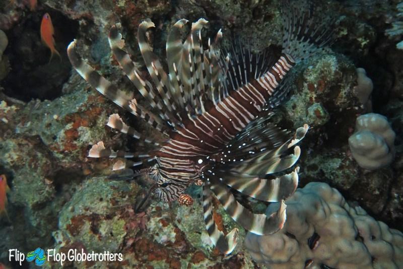 lionfish dahab