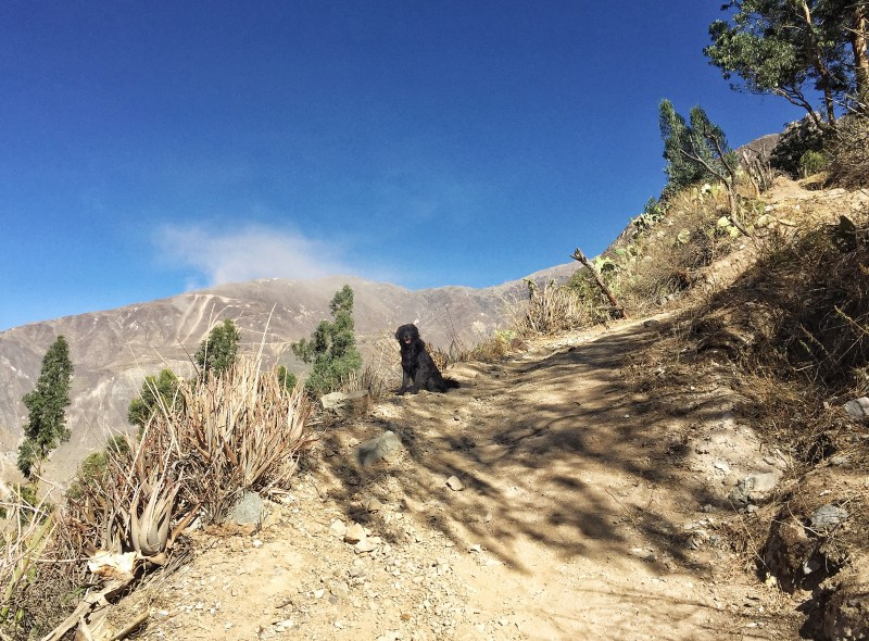 Colca canyon dog