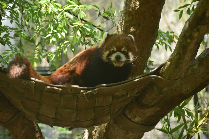 A red panda making a face while sitting in a tree