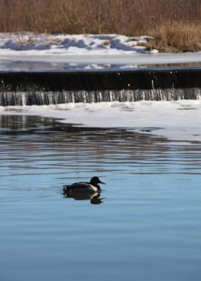 img_0508-duck