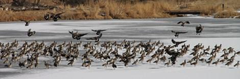 img_0524-geese
