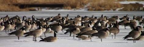 img_0529-geese-use