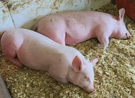 Little Piggies