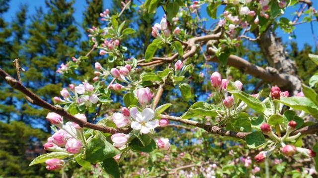 fleur pommier verger belliveau orchard moncton blog voyage arpenter le chemin