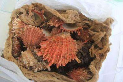 Entre los restos óseos y textiles se encontraron Spondylus.
