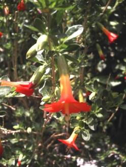 Kantuta flor sagrada de los incas