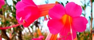 la flor de qantu flor sagrada de los incas