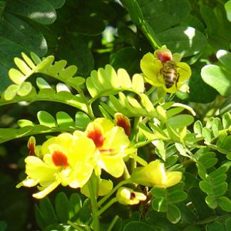 ENMA-paubrasilia-echinata