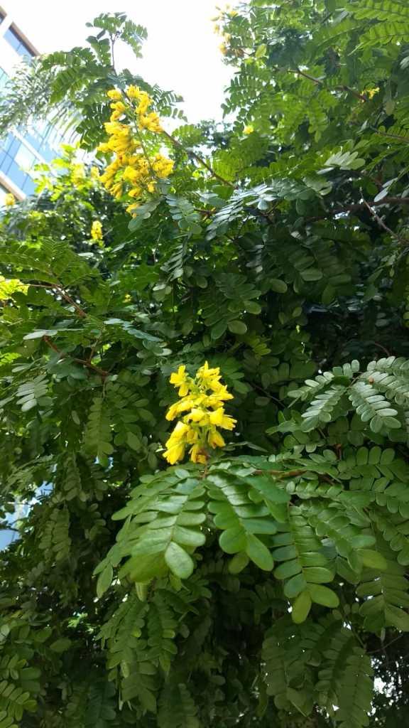 Floração do Pau Brasil