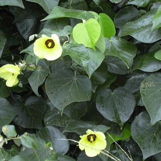 Hibiscus tiliaceus (invasora)