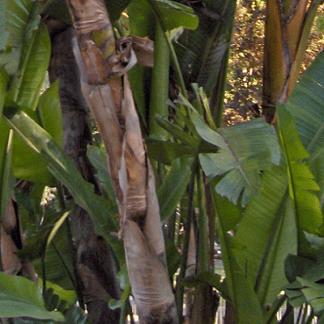 Musa paradisiaca (invasora)