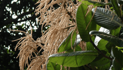 Triplaris surinamensis (invasora)