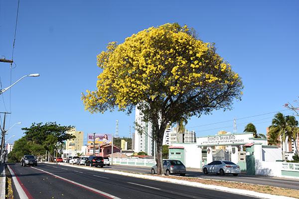 Ipê Amarelo floresce na Hermes da Fonseca