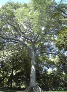 La ceiba, árbol sagrado de los Yorubas, es la suma de la fuerza mística de la vegetación.