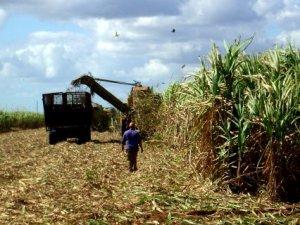 la recolección de caña de azúcar en Cuba se hace mayoritariamente de forma mecanizada.