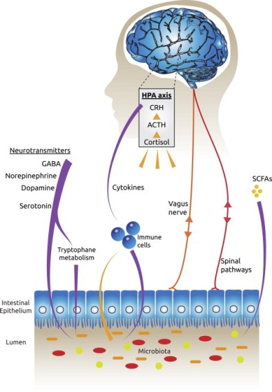 The multiple bidirectional routes of communication between the brain and the gut ...