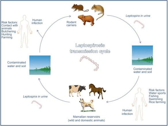 Leptospira and Leptospirosis. Get your dog vaccines.