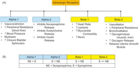Adrenergic Receptor Function - an overview | ScienceDirect Topics