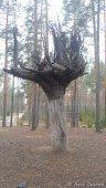 Onkohan tämä puu kasvanut leirialueella väärin päin?