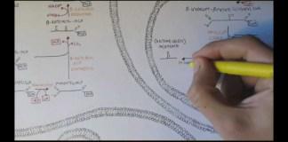 Human Metabolism Map VIII - Ketone Body Production