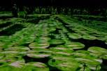 Giappone-percorso tra fior di loto simulati-.