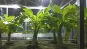 La palma della Hawaii (Brighamia insignis), il cui ultimo esemplare in natura è stato registrato nel 2014, è stata salvata dall'estinzione da un gruppo di botanici che ha impollinato le ultime piante esistenti arrampicandosi sulle ripide scogliere oceaniche dell'isola di Kaua'i
