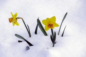 New Beginnings: Snow with Spring Flower, Image by Tom Glassman