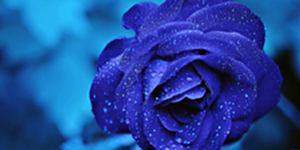 blue food rose
