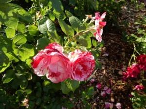 Sentimental rose