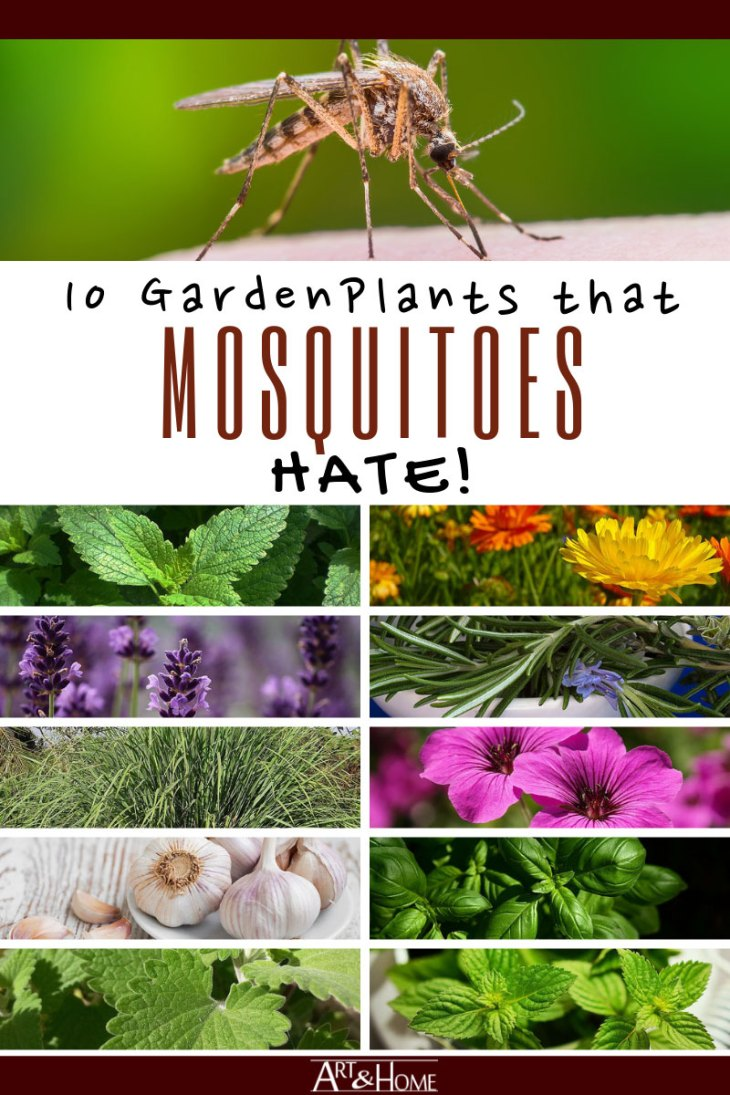 10 Garden Plants that Repel Mosquitoes