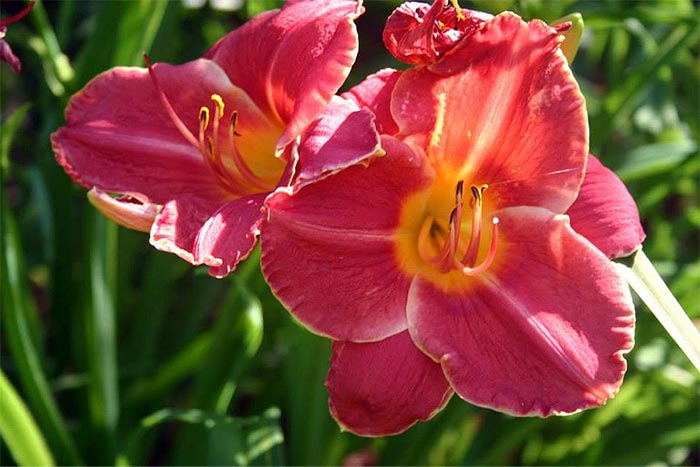 Deep Pink Daylily in Bloom