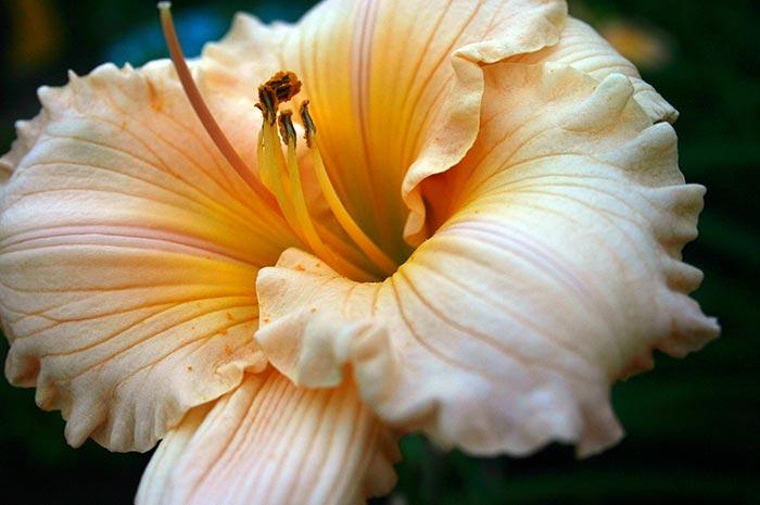 Macro Daylily Closeup Art Photo