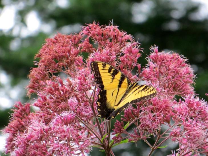 Swamp Milkweed Attracts Butterflies and Dragonflies to Your Garden