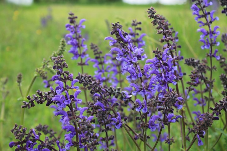 Meadow Sage Repels Mosquitoes and Attracts Dragonflies