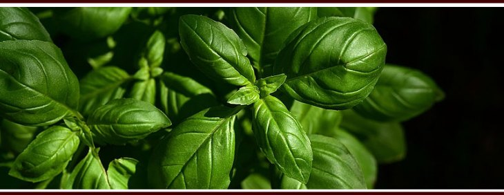 Plant Basil to Repel Mosquitoes