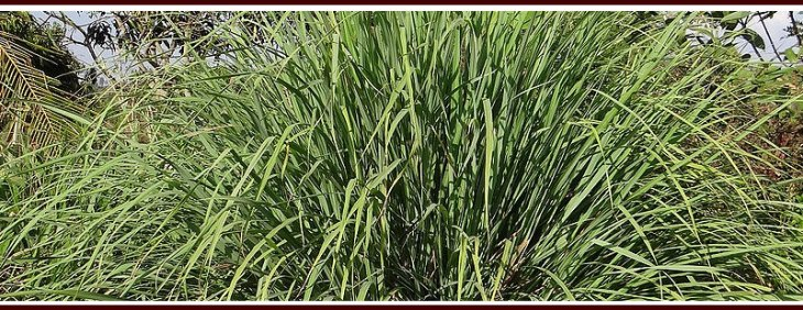 Plant Citronella Grass to Repel Mosquitoes