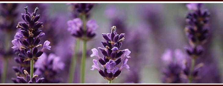 Plant Lavender to Repel Mosquitoes