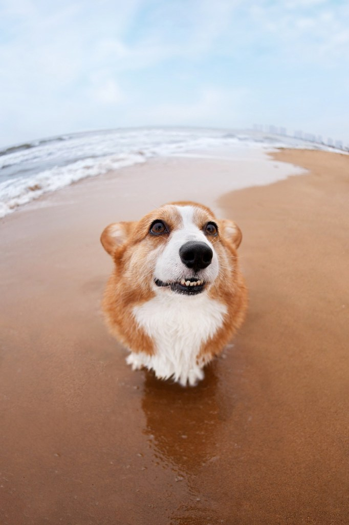 Corgi on a Beach