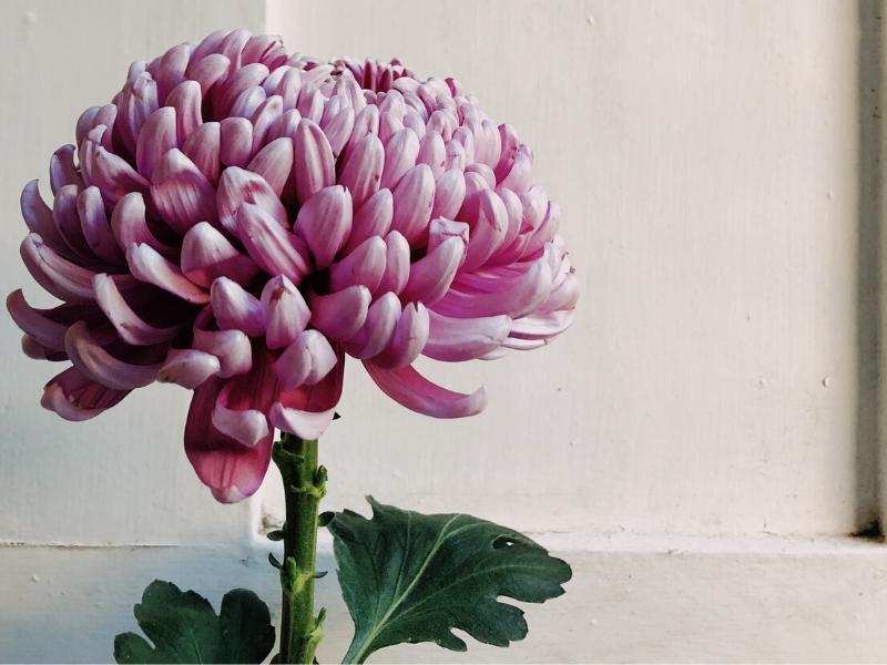 Best Air Purifying Houseplants Chrysanthemum