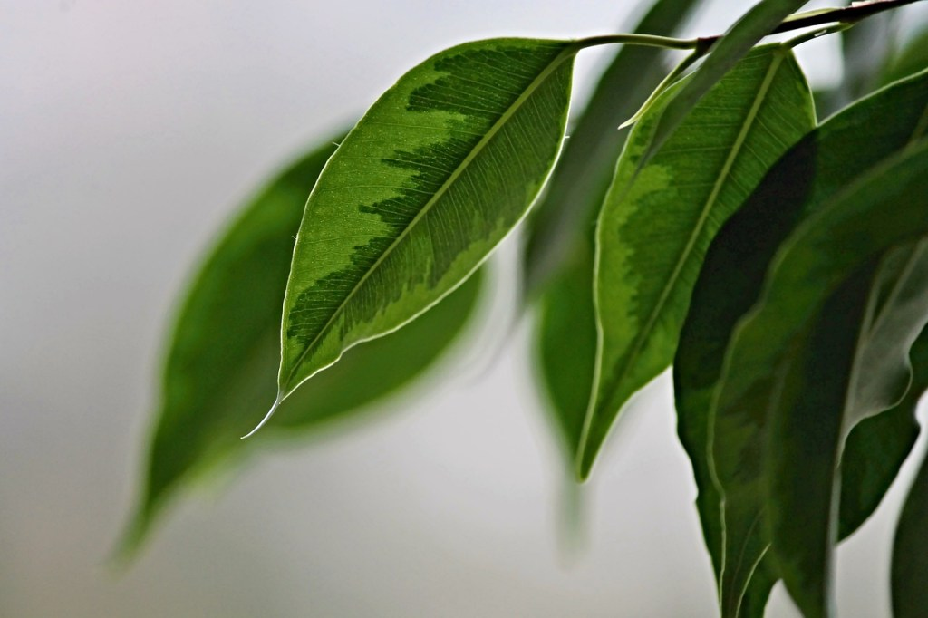 Weeping Fig / Ficus