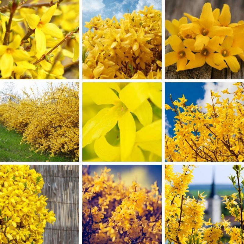 Beautiful Yellow Forsythia Bushes