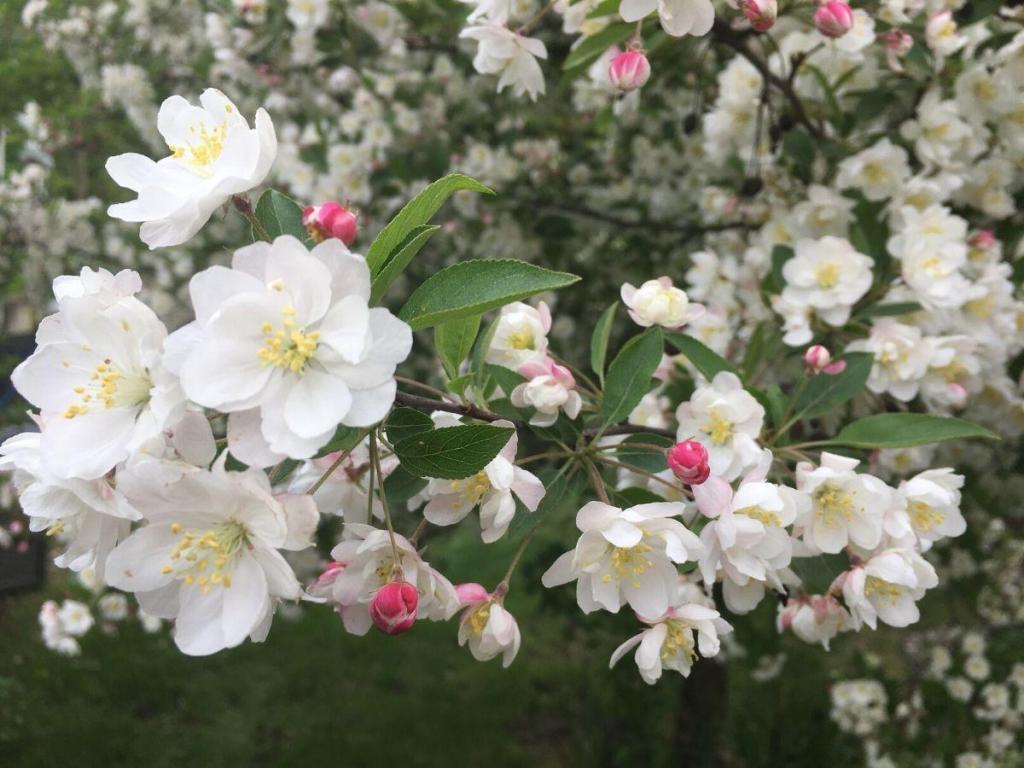 Malus Charlottae Crabapple Tree Flowers