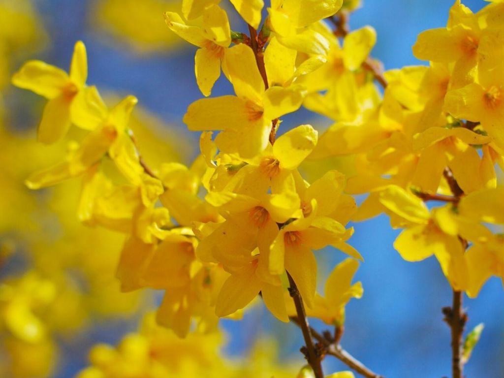Spring Flowering Forsythia Closeup