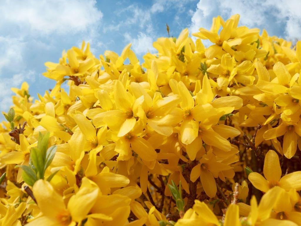 Spring Flowering Forsythia Bush in Bloom