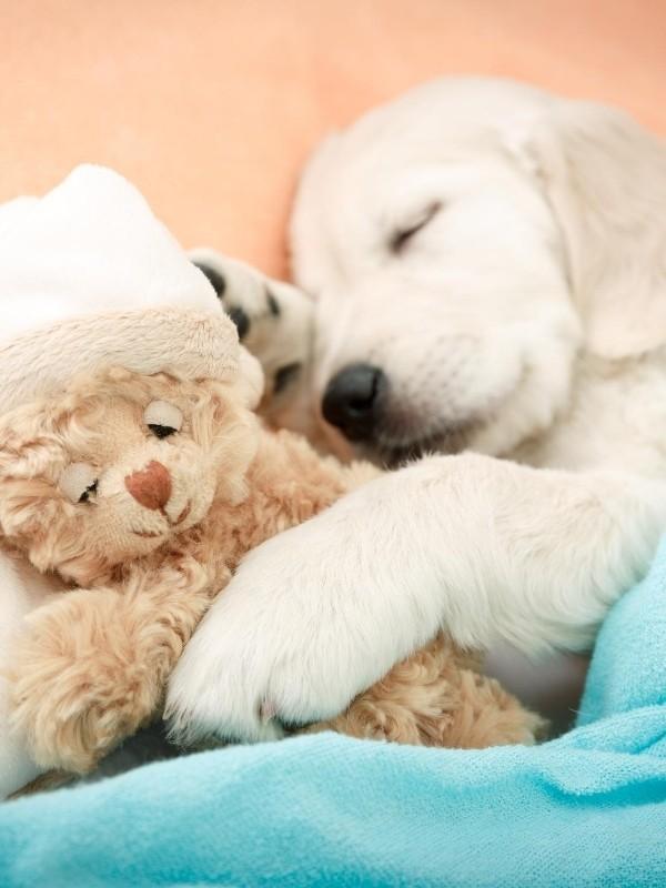 Lab Puppy Cuddling with Teddy Bear